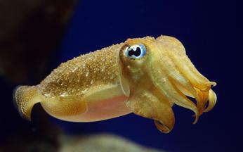 1-Cuttlefish